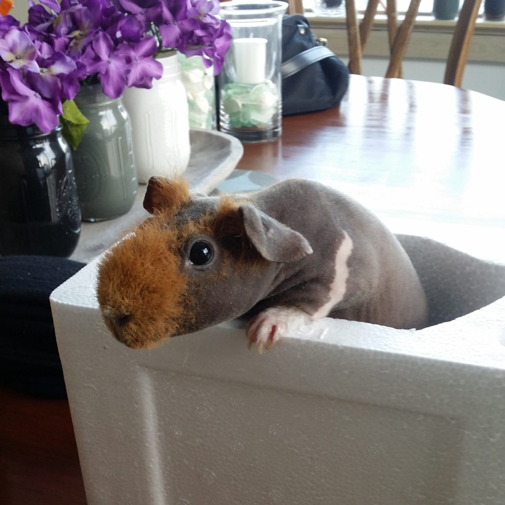 Skinny Pig Penny