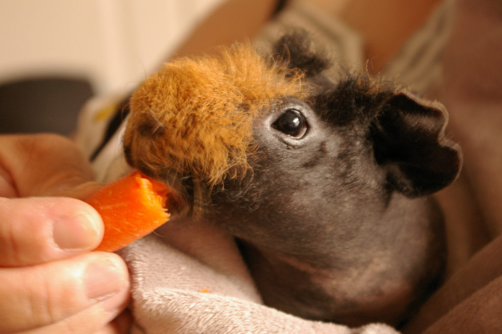 Skinny Pig Facts